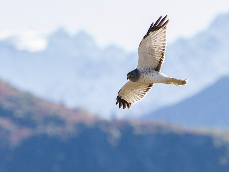Matanuska Valley Migration Hawk