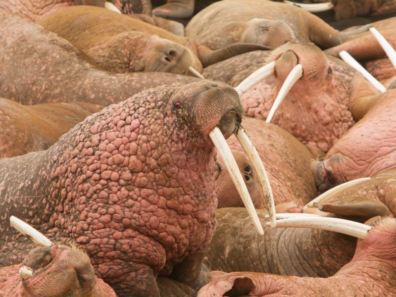 Photo Walrus Tours