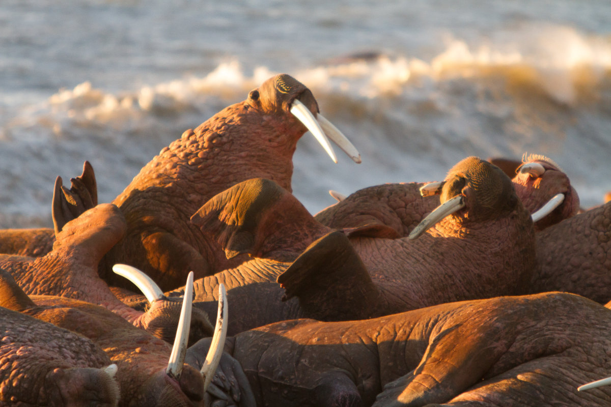 Photo Walrus Tours AK
