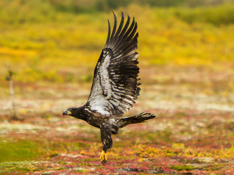Photography Trips Golden Eagle