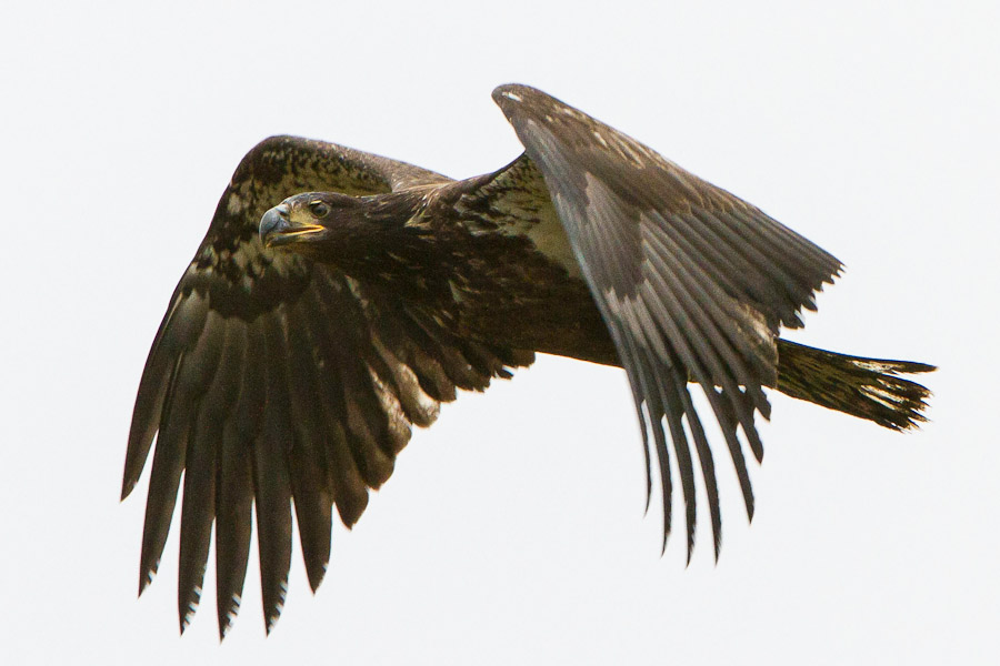 Raptor Guided Birding Trips