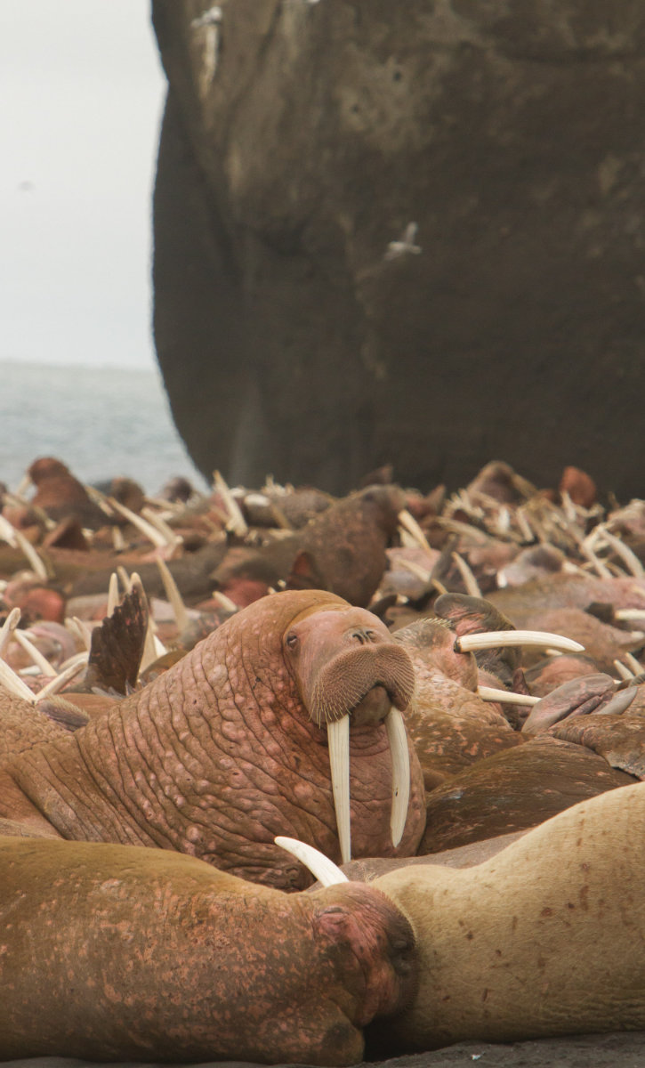 Walrus Alaska Photo Tours