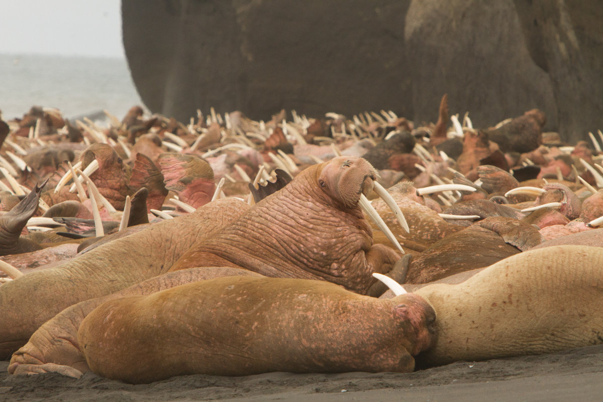 Walrus Photo Tours